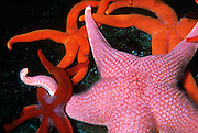 Red, orange and pink starfish in the Seattle Aquarium, Washington, USA. Published in the Made in Washington Stores Catalog, Holiday 2006 (page 14), and Spring/Summer 2007.