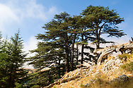 Cedar trees, part of an old growth forest several kilometers uphill from Bcharre, Lebanon (September 9, 2010).