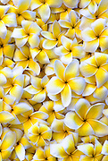 A full frame of white and yellow plumeria.
