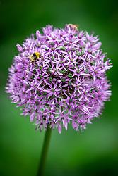 Allium 'Gladiator' AGM with bees