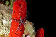 Sponge Brittle Star, Ophiothrix suensoni, Lütken, 1856, Grand Cayman
