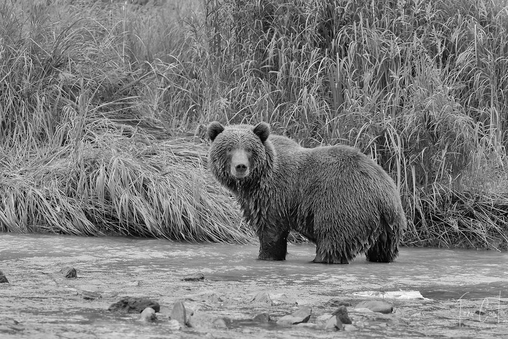 brown bear ~ Ursus arctos ~ Katmai National Park, Alaska ~ www.adventurequestX.com