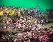 Lingcod (orling cod) is on the shipwreck ''El Rey'' in San Diego, California.