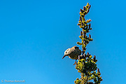 A Clark's Nutcracker sprepares to fly along Sourdough Trail.