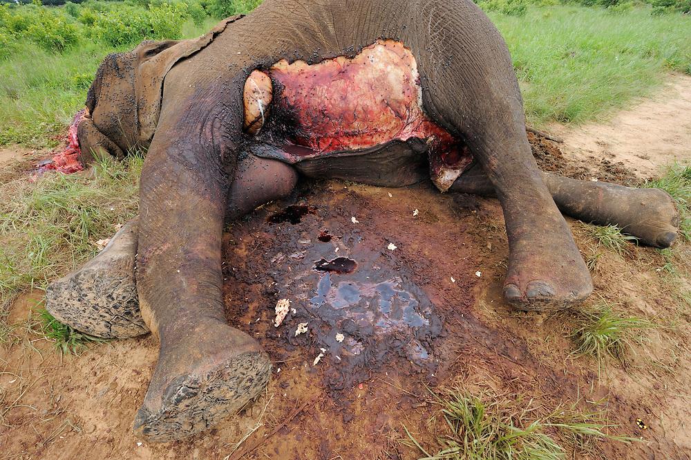 Poaching, African elephant, Loxodonta sp.,  Hwange National Park, Zimbabwe