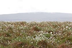 Hare's - tale Cotton grass growing on heathland at Teesdale. Eriophorum vaginatum