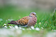Turtle Dove Streptopelia turtur L 27cm. Small, well-marked dove. Flight is fast and direct with flicking wingbeats. Song is distinctive. Sexes are similar. Adult has blue-grey head, neck and underparts with pinkish buff flush on breast, and white barring on neck. Back and wing coverts are chestnut: dark feather centres and pale margins create scaly appearance. Long, mainly black tail looks wedge-shaped in flight due to white corners. Juvenile is similar but duller and lacks neck markings. Voice Song is diagnostic, purring coo. Status Local summer visitor. Declining due to modern agricultural practises. Found on lowland arable farmland, scrub and downland; E England is its stronghold.