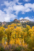 Narrowleaf Cottonwood, Aspen, and the Uncompahgre Mountains, Uncompahgre National Forest, Colorado
