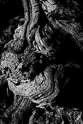 19/11/2010 Savelletri (Brindisi), base di un tronco d'ulivo secolare....La raccolta delle olive e la produzione dell'olio extravergine sono un rituale che si protrae da moltissimo tempo in Puglia, questo avviene solitamente nel periodo che va da novembre a dicembre, mentre il lavoro di preparazione e coltivazione si svolge lungo tutto l'arco dell'anno..La raccolta è seguita nella maggior parte dei casi, quando le olive non vengono vendute all'ingrosso, dalla molitura presso gli oleifici per la produzione di quello che da queste parti viene chiamato anche oro verde..