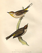 Orange-crowned Warbler (Sylvicola petechia), color plate of North American birds from Fauna boreali-americana; or, The zoology of the northern parts of British America, containing descriptions of the objects of natural history collected on the late northern land expeditions under command of Capt. Sir John Franklin by Richardson, John, Sir, 1787-1865 Published 1829