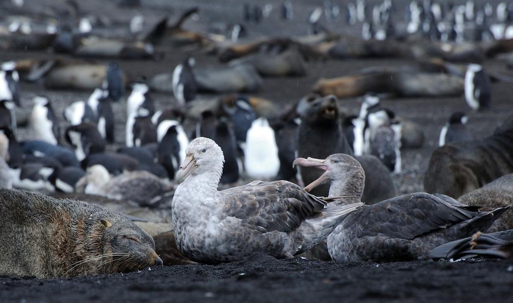 Northern Giant Petrels (Macronectes halli) sit among Antarctic Fur Seals (Arctocephalus gazella) and Chinstrap Penguins  (Pygoscelis antarctica) on the black volcanic sand of  Saunders Island. Saunders Island, South Sandwich Islands. South Atlantic Ocean. 25Feb16