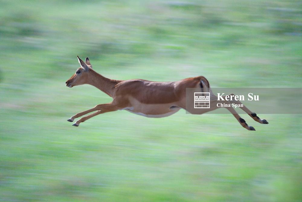 Impala (Aepyceros melampus) running, Nakuru, Kenya