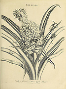 Pineapple - Bromelia The pineapple[2][3] (Ananas comosus) is a tropical plant with an edible fruit and the most economically significant plant in the family Bromeliaceae.[4] The pineapple is indigenous to South America, where it has been cultivated for many centuries. Copperplate engraving From the Encyclopaedia Londinensis or, Universal dictionary of arts, sciences, and literature; Volume III;  Edited by Wilkes, John. Published in London in 1810