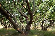 snaggy oak trees at the nature reserve de Manteling near Oostkapelle on the peninsula Walcheren, Zeeland, Netherlands.<br /> <br /> knorrige Eichen im Naturschutzgebiet de Manteling bei Oostkapelle auf Walcheren, Zeeland, Niederlande.