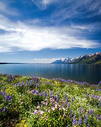 Sticky Geranium & Lupine, wildflowers of Grand Teton National Park