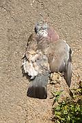 Dead flattened wood pigeon lying on surface of tarmac roads roadkill, UK