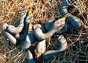 Heads of plastic decoy geese used for hunting greylag geese lying on a field in Dalvik, Iceland