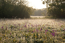 Green Winged Orchids in Marden Meadow, Kent. Orchis morio, Anacamptis morio