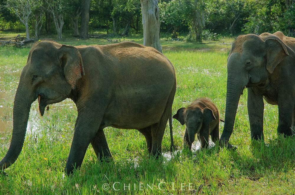Ceylon Elephant (Elephas maximus maximus). Yala National Park, Sri Lanka.