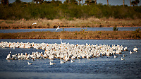 Pod of American White Pelicans fishing. Biolab Road, Merritt Island National Wildlife Refuge. Image taken with a Nikon D3x camera and 500 mm f/4 VR lens (ISO 100, 500 mm, f/4, 1/1600 sec).