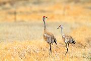Sandhill Cranes located near Canyon Ferry Lake, Montana.