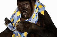Deutschland, DEU, Krefeld, 2004: Projekt ueber die biologischen Wurzeln der Mode. Die Shootings hierfuer wurden mit Grossen Menschenaffen, die dem Menschen am naechsten sind, im Krefelder Zoo gemacht. Die Tiere waren weder zahm noch trainiert. Die Kleidungsstuecke wurden in die Gehege geworfen und was immer die Tiere damit anstellten, taten sie aus sich selbst heraus. Ein Eingreifen oder gar eine Regie war unmoeglich. Da das Verhalten der Affen im Mittelpunkt stand, wurden die Hintergruende von den Originalfotografien entfernt. Gorilla-Weibchen Boma mit einem Maennerhemd von Etro. | Germany, DEU, Krefeld, 2004: Project to look at the basics and roots of fashion. The shootings took place in the Zoo Krefeld with three species of Great Apes who are the nearest to us. The animals were neither tamed nor trained. Whatever the animals did, they did on their own. Any intervention or directing was impossible. To set the focus on the behaviour of the animals itself we removed the background from the original photographs. Gorilla (Gorilla gorilla) female Boma with a men's shirt from Etro. |
