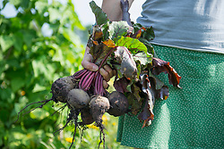 Woman holding fresh bunch beetroot crop