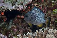 Dascyllus trimaculatus (Three-spot Dascyllus)