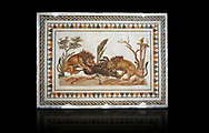 Picture of a Roman mosaics design depicting Lions eating a boar, from the ancient Roman city of Thysdrus. 2nd century AD, House of the Dionysus Proccession. El Djem Archaeological Museum, El Djem, Tunisia. Against a black background .<br /> <br /> If you prefer to buy from our ALAMY PHOTO LIBRARY Collection visit : https://www.alamy.com/portfolio/paul-williams-funkystock/roman-mosaic.html . Type - El Djem - into the LOWER SEARCH WITHIN GALLERY box. Refine search by adding background colour, place, museum etc<br /> <br /> Visit our ROMAN MOSAIC PHOTO COLLECTIONS for more photos to download as wall art prints https://funkystock.photoshelter.com/gallery-collection/Roman-Mosaics-Art-Pictures-Images/C0000LcfNel7FpLI