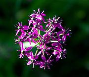 Himalaya onion or Jimbu (Allium wallichii), a beautiful plant from Napal that can be eaten.