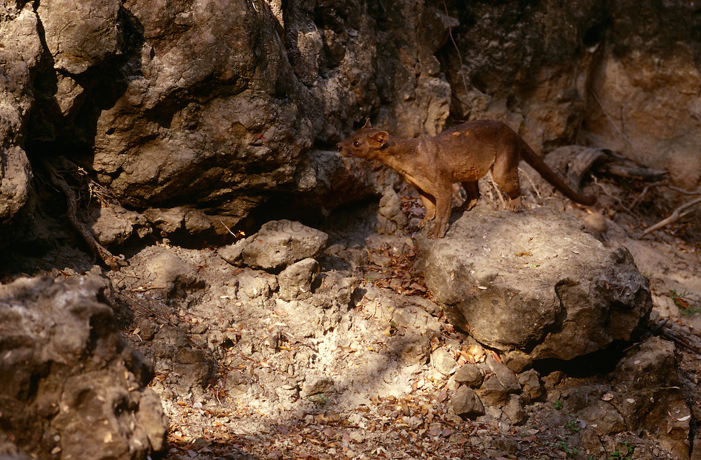 Male Fossa amongst rocks {Cryptoprocta ferox} Kirindy Forest, Madagascar