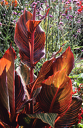 Sunlight shining through the foliage of Canna 'Durban' in the exotic garden at Great Dixter. Also known and marketed as  C. Tropicanna and C. Phasion in various parts of the world
