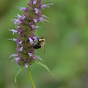 A bee feeding on what remains of the flowers on this stalk.  D and R canal, Hillsborough, NJ