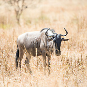 A solitary wildebeest (also known as a gnu) stands in the brown grass at Tarangire National Park in northern Tanzania not far from Ngorongoro Crater and the Serengeti.