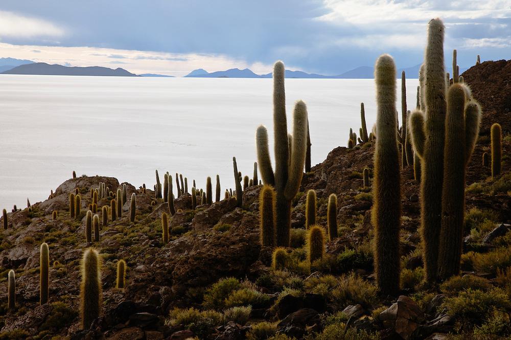 Awash in the golden color of sunset, the trichoreus cacti of Isla Incahuasi look down on the salar,Salar de Uyuni,  Bolivia,South America