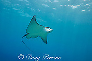 Pacific whitespotted eagle ray or Pacific eagle ray, Aetobatus laticeps, Black Rock, West Maui, Hawaii, USA ( Central Pacific Ocean )