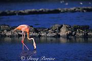 pink flamingo, or greater flamingo, Phoenicopterus ruber,<br /> feeding in salt pond, Playa Frans, Bonaire, <br /> Netherlands Antilles,<br /> ( Caribbean Sea )