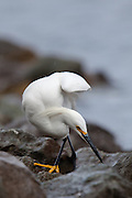 A Snowy Egret prowling the shore of Lake Murray.  It's all boulders and rip-rap - and its concentrating on breakfast.