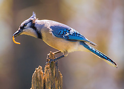 Mr. Blue Jay Grabs A Meal-Worm To Snack On