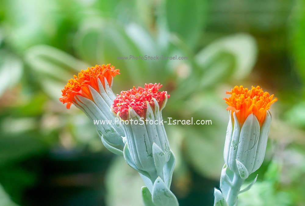 Close up of a flowering Kleinia fulgens common names include Scarlet Kleinia, Coral Senecio (in the past was Senecio fulgens) is a species from the genus Kleinia and the family Asteraceae