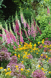 Foxgloves - Digitalis 'Glittering Prizes mixed' with Allium cristophii and Erysimum allionii in the Long Border at Great Dixter