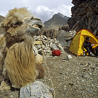 CHINA, Xinjiang Province. Bactrian camel & trekkers' camp in Pamir Mts. (MR)<br /> (Mark Newcomb)
