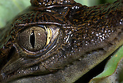 Spectacled Caimen, Caiman crocodilus, Iquitos, Northern Peru, nocturnal, close up of face. .South America....