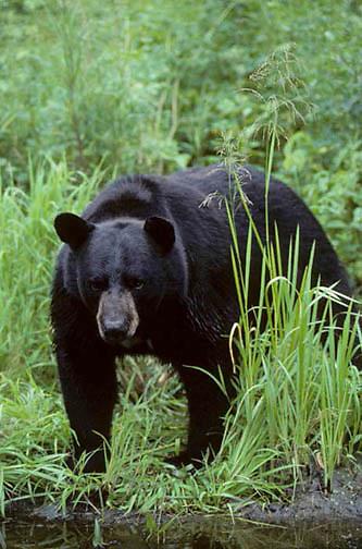 Black Bear, (Ursus americanus) Minnesota, large bear at edge of creek bank. Late summer.