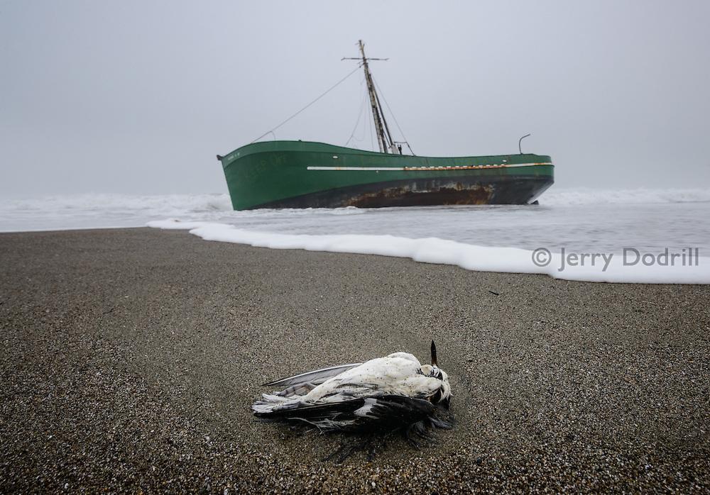 Shorebird and fishing boat Verna A II washed up on Salmon Creek Beach, Sonoma Coast, California