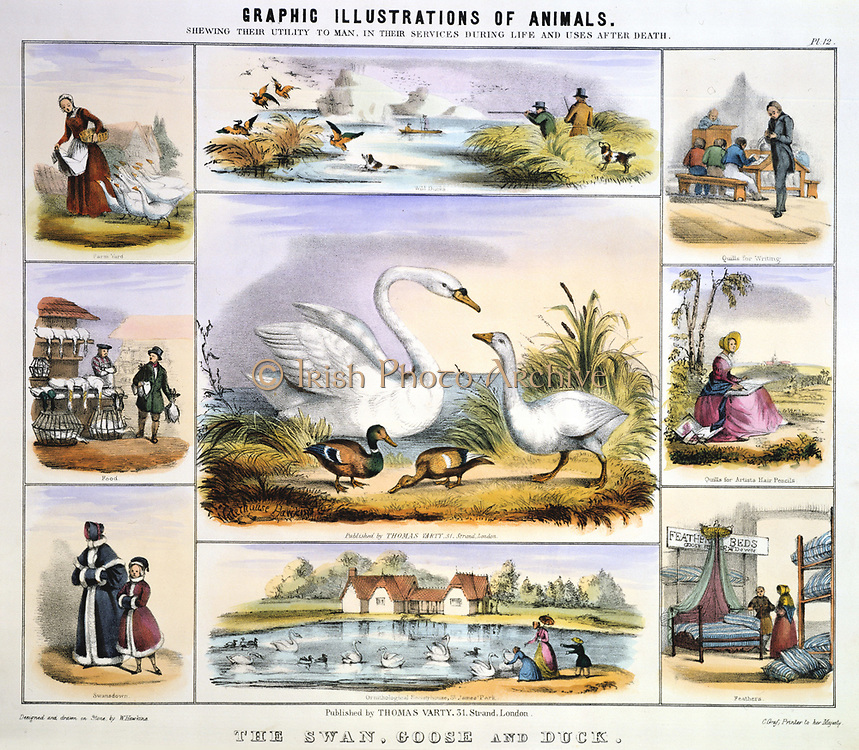 Duck, Geese and Swans. Wildfowling; Farmyard; Food; Swansdown trimming: Quill pen: Feather bed: Ornamental waterfowl. Hand-coloured lithograph by Waterhouse Hawkins published London c.1850. From 'Graphic Illustrations of Animals and Their Utility to Man'.