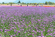 A field of lavender colored flowers in Dali, Yunnan, China