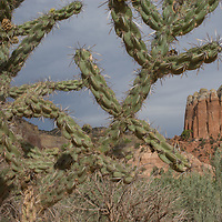 The branches of a tree cholla cactus (Opuntia imbricata) frame sandstone towers near Abiquiu, New Mexico.