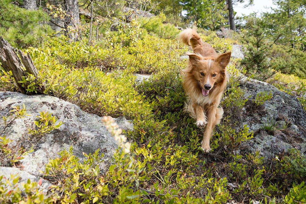 English shepherd running towards the camera