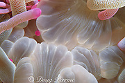 mouth of sea anemone, Condylactis gigantea, <br /> Grand Cayman, Cayman Islands, British West Indies, ( Caribbean Sea )